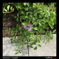 Solanum x doddsii plant