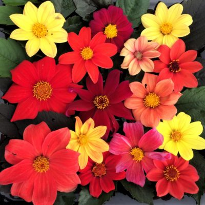 Flowers of edible selections of Dahlia coccinea