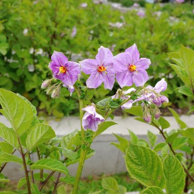 Flowers of the Cultivariable original potato variety 'Rozette'