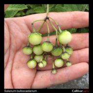 Berries of the wild potato species Solanum bulbocastanum