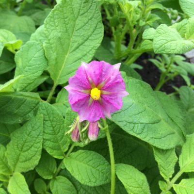 Flower of the potato variety 'Skagit Valley Gold'