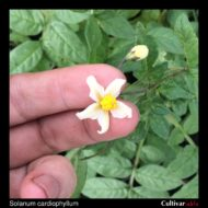 Flower of the wild potato species Solanum cardiophyllum