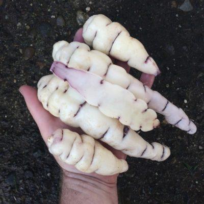 Tubers of the mashua (Tropaeolum tuberosum) variety 'Hoh'