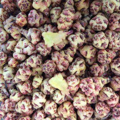 Tubers of the mashua (Tropaeolum tuberosum) variety 'Ken Aslet'