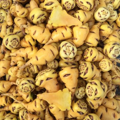 Tubers of the mashua (Tropaeolum tuberosum) variety 'Lima'