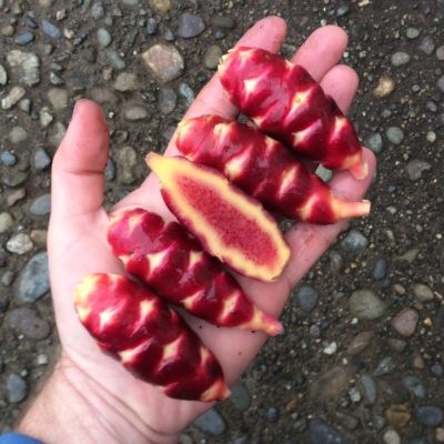 Tubers of the oca (Oxalis tuberosa) variety 'Bolivian Red'