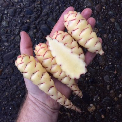 Tubers of the Cultivariable original oca (Oxalis tuberosa) variety 'Hyak'