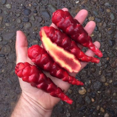 Tubers of the Cultivariable original oca (Oxalis tuberosa) variety 'Mocrocks'