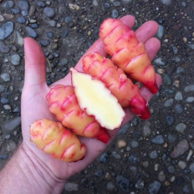 Tubers of the oca (Oxalis tuberosa) variety 'OE Blush'