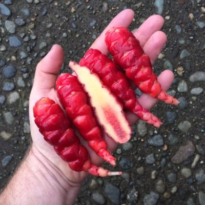 Tubers of the Cultivariable original oca (Oxalis tuberosa) variety 'Siwash'
