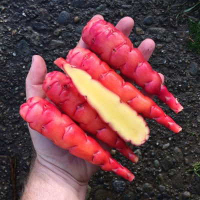 Tubers of the oca (Oxalis tuberosa) variety 'Wishkah'