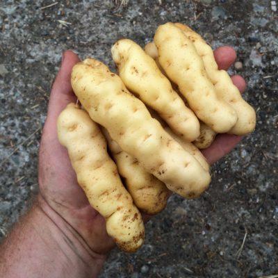 Tubers of the potato variety 'Ozette'