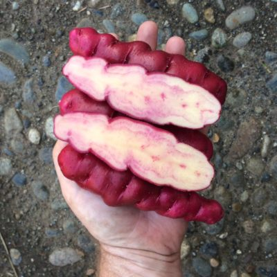 Flesh color of the potato variety 'Rozette'