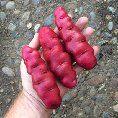 Large tubers of the potato variety 'Rozette'