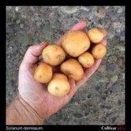 Tubers of the wild potato species Solanum demissum