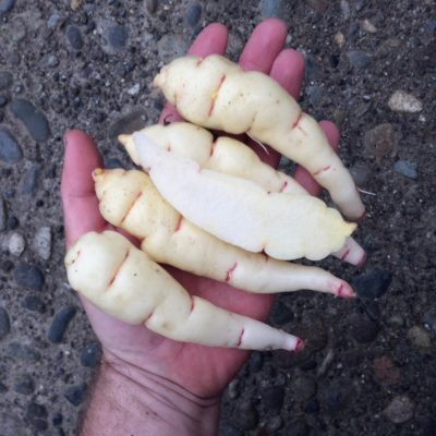 Tubers of the Cultivariable original mashua (Tropaeolum tuberosum) variety 'Copalis'