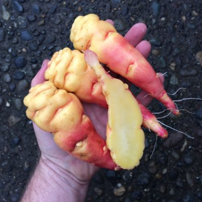 Tubers of the mashua (Tropaeolum tuberosum) variety 'Orange'