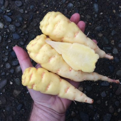 Tubers of the mashua (Tropaeolum tuberosum) variety 'Q'illu-isañu'