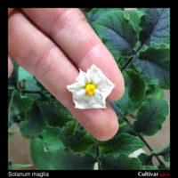 Flower of the wild potato species Solanum maglia