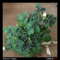 Aerial plant of the wild potato species Solanum maglia