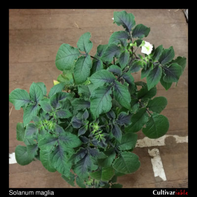 Aerial plant of the wild potato species Solanum maglia