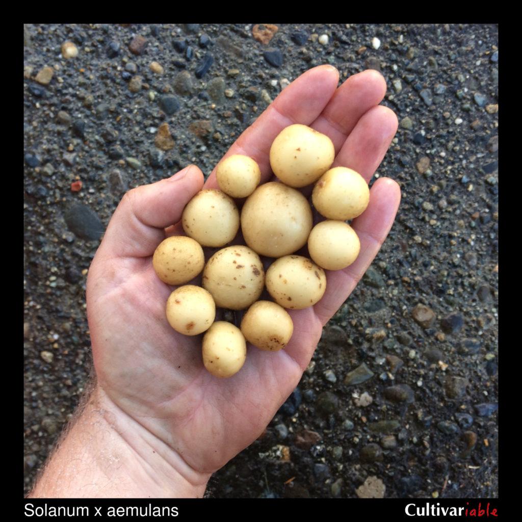 Tubers of the wild potato species Solanum x aemulans