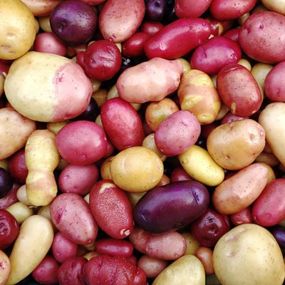 Mixed tetraploid potatoes