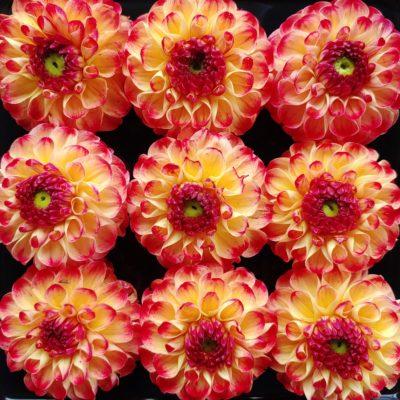 Flower of the dahlia variety 'Kaiser Wilhelm'