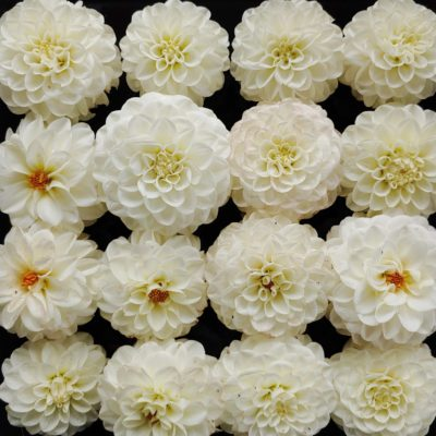 Flower of the dahlia variety 'White Aster'