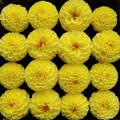 Flower of the dahlia variety 'Yellow Gem'