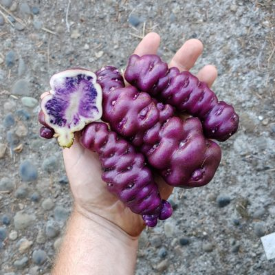 Tubers of the Peruvian heirloom potato variety Cuchipa Ismaynin