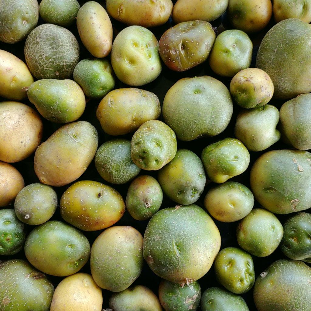 Greened potato (Solanum tuberosum) tubers