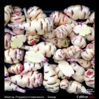 Tubers of the Cultivariable Original mashua (Tropaeolum tuberosum) variety 'Satsop'