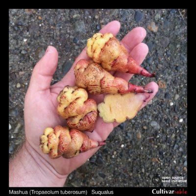 Tubers of the Cultivariable Original mashua (Tropaeolum tuberosum) variety 'Suqualus'