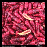 Tubers of the Cultivariable Original oca (Oxalis tuberosa) variety 'Mocrocks'