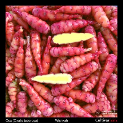 Tubers of the Cultivariable Original oca (Oxalis tuberosa) variety 'Wishkah'