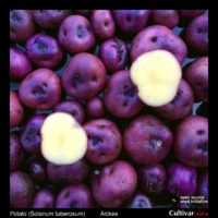 Tubers of the Cultivariable Original potato (Solanum tuberosum) variety 'Alckee'