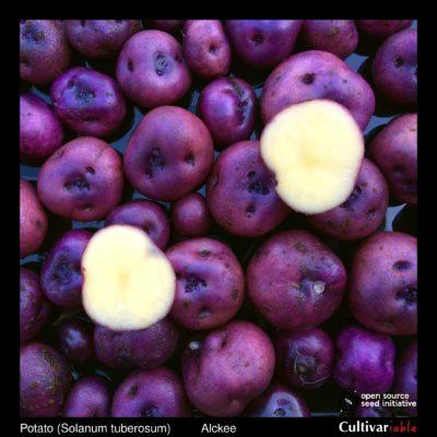 Tubers of the Cultivariable Original potato (Solanum tuberosum) variety 'Alckee'