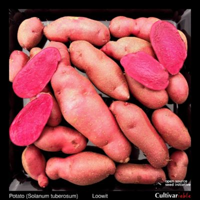 Tubers of the Cultivariable Original potato (Solanum tuberosum) variety 'Loowit'
