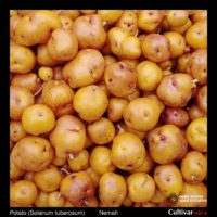 Tubers of the Cultivariable Original potato (Solanum tuberosum) variety 'Nemah'