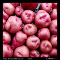 Tubers of the Bolivian heirloom potato (Solanum tuberosum) variety 'Pirampo'