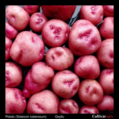 Tubers of the Bolivian heirloom potato (Solanum tuberosum) variety 'Qoyllu'