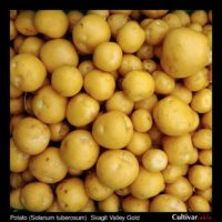 Tubers of the Tom Wagner potato (Solanum tuberosum) variety 'Skagit Valley Gold'