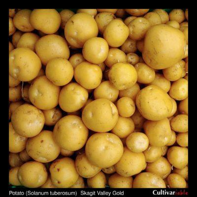 Tubers of the Tom Wagner potato (Solanum tuberosum) variety 'Skagit Valley Gold'