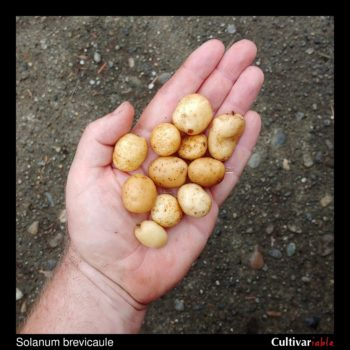 Tubers of the wild potato species Solanum brevicaule