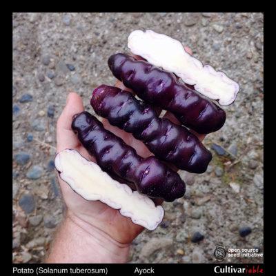 Tubers of the Cultivariable original potato variety 'Ayock'