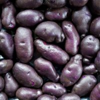 Tubers of the Cultivariable original potato variety 'Gunter Blue'