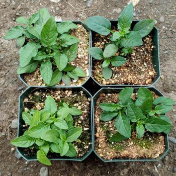 Seedlings of the wild potato species Solanum paucissectum