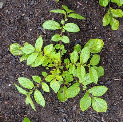 Aerial plant of the Cultivariable original potato (Solanum tuberosum) variety 'Ayock'