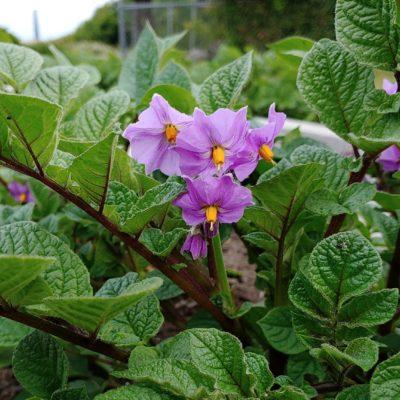 Flower of the potato (Solanum curtilobum) variety 'Blue Bolivian'